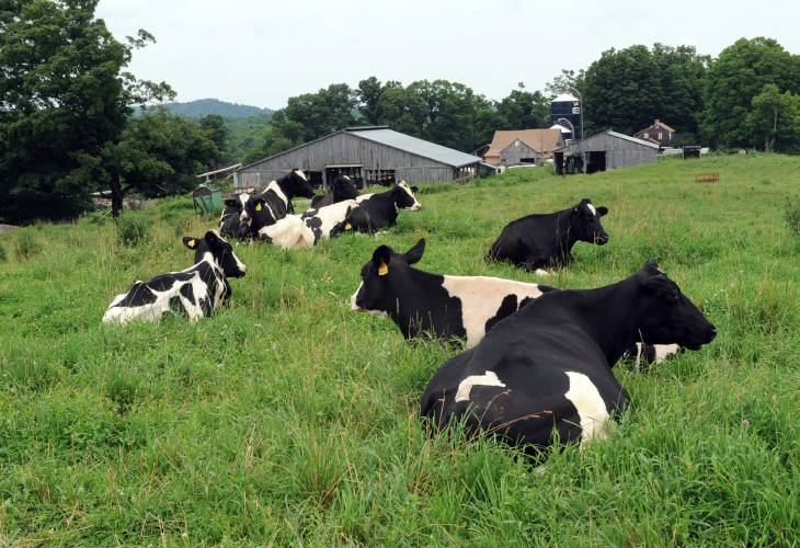 Cows relaxing outside dairy farm