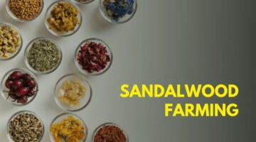 Business, Sandal Tree Farming, SandalWood Farming in India