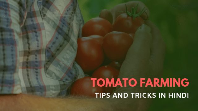 Tomato Farming Business Kaise Kare